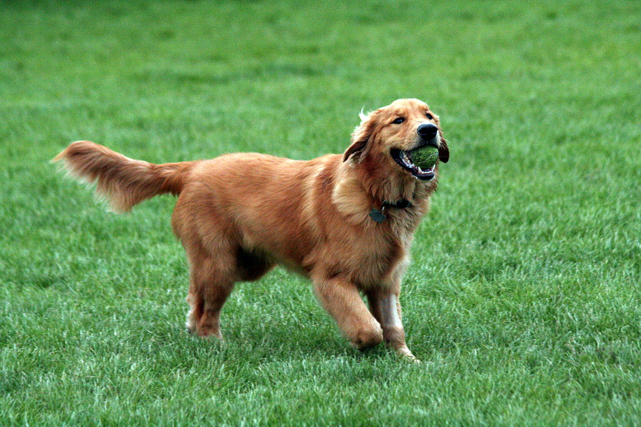 Perro:  Golden Retriever