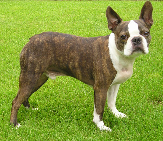 Perro: Boston Terrier